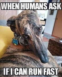 Dog Breeds Names .Dog Breeds Names Greyhound Art, Italian Greyhound, Dog Breeds Little, Whippet Dog, Dog Grooming Business, Lurcher, Grey Hound Dog, Tier Fotos, Beautiful Dogs