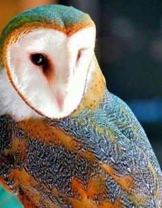 Barn Owl I want to be a bird. Beautiful Owl, Animals Beautiful, Cute Animals, Exotic Birds, Colorful Birds, Pretty Birds, Love Birds, Owl Pictures, Owl Bird