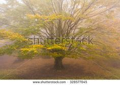 Photo of old monumental beech in the fog. Forest of Monte Cucco mountain in Umbria, Italy. #Beech #Tree #Plant #Misty #Magic #Forest #Isolated #Fog #Enchanted #Autumn #Autumnal #Leaves #Fall #Foliage
