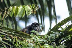 jabragadog posted a photo:  howler monkey at Costa Rica septiembre 2016