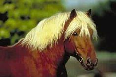 chevaux de trait comtois