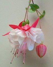 'Swingtime' Fuchsia - Double Stiff basket or bush Sepals - Rich shiny red, crepe texture. The inside is rosy red Corolla - Milky, but sparkling white, faintly veined pink. Needs pinching