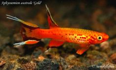 Lyretail Killifish Golden lyretail killifish ml