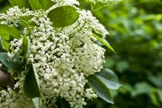 """Homemade Elderflower Syrup""..have made this it is awesome!!!"