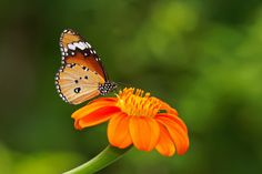 The Small Things...                           850D2478- Flower… Butterfly… and Bokeh by crimsonbelt on Flickr.