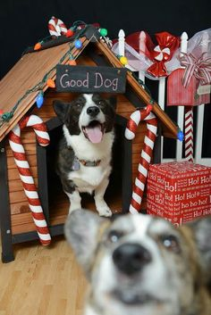 The Daily Corgi: Holiday photobomb