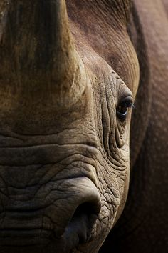Black rhino...black beauty...how I love rhinos what a shame they are an endangered species!!
