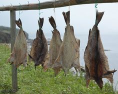 Drying Cod in Newfoundland.
