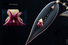 Miniature-orchid / Micro-orquidea: Lepanthes papyrophylla. Notice that since the inflorescence is rather delicate it uses the leaf  for support - Flickr - Photo Sharing!