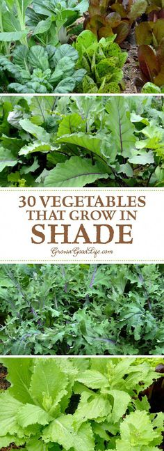 Do you have an area of your garden that is shaded part of the day? If you think you can't grow anything there, you are wrong. There are many vegetables that grow in shade. Some even thrive when sheltered from the intense rays from the summer sun. #vegetablesgardening