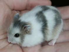 A chimera Winter White dwarf hamster. Partly pearl, partly blue wild color.