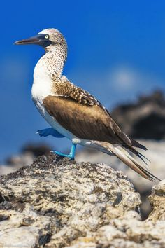The Blue Footed Boobie   27 photos that will transport you to the Galápagos Islands   The Planet D Adventure Travel Blog