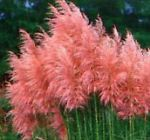 500 Pcs Rare Purple Pampas Grass Ornamental Plant Flowers Seeds Glow Buetyful 1