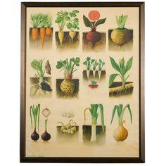 Rare large format vintage botanical by tinyfishes on Etsy Vegetable Illustration, Nature Illustration, Botanical Illustration, Vintage Botanical Prints, Botanical Drawings, Botanical Art, Roots Drawing, Montessori Art, Root Vegetables