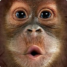 Daily Tee: Big Face Baby Orangutan custom t-shirt design by themountain Primates, Cute Baby Animals, Animals And Pets, Funny Animals, Monkeys Animals, Animal Faces, My Animal, Beautiful Creatures, Animals Beautiful