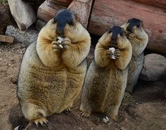 Credit: Jiang Hongjing/Corbis Three marmots strike similar poses while eating at the Cuopugou scenic area, Sichuan province, China