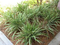 Flax Lilly Grass Landscaping Shrubs, Hedges, Landscape Design, Grass, Lily, Florida, Flowers, Plants, Climbers