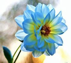 Blue Dahlia in sunlight.  Might not be close enough to teal, but could be a cool centerpiece accent.