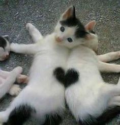 These cute little kittens enjoy each others compony so much there heart represents their friendship