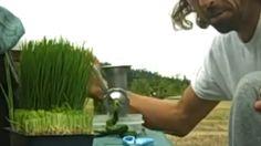 Izlečio rak pšeničnom travom