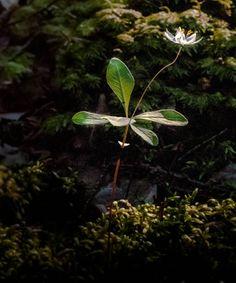 Arctic Starflower - Trientalis europaea - Metsätähti by Pauliina Kuikka Nikon D300, Arctic, Plant Leaves, Plants, North Pole, Plant, Planting, Planets