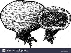 Image result for illustration of puff mushroom