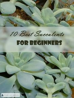 10 Best Succulents for Beginners here is my short list of great easy care succulents to get started with Succulent Plants Gardening Houseplants Succulent Landscaping, Succulent Gardening, Succulent Care, Container Gardening, Flower Gardening, Cacti Garden, Succulent Terrarium, Indoor Gardening, Succulent Display