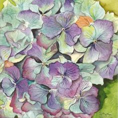 Hydrangea illustration by Susan Hillier – The Society of Botanical Artists
