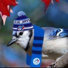 Blue Jay in a Blue Jays toque and scarf.honouring our Canadian baseball team Mlb Blue Jays, Toronto Blue Jays, Go Blue, Stone Painting, Animals Beautiful, Funny Animals, Cool Photos, Baseball, Art