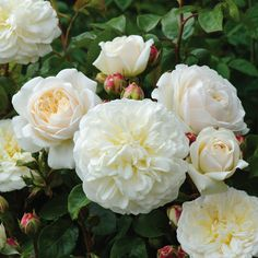 Tranquillity. An attractive, very floriferous variety, bearing pure white, beautifully rounded, rosette blooms. Almost thornless with very healthy, vigorous growth. Light apple fragrance. Ideal for poor soil. English Shrub Rose - bred by David Austin. English Musk Hybrid. Colour White. Little Fragrance. Repeat Flowering. Disease Resistance Very. Height 1,2 m, width 0,90. Year of Introduction 2012. ++