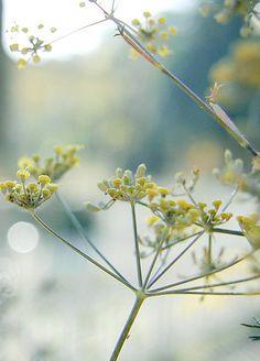 Fenouil Note de tete en parfumerie pour Pitta et non note de coeur