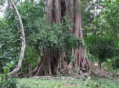 giant trees - Bing images