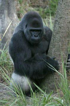Take a short gorilla safari to Mgahinga National Park and enjoy an adventure at the pristine forest that habits Mountain gorillas and Golden monkeys Primates, Mammals, Gorillas In The Mist, Animals And Pets, Cute Animals, New World Monkey, Silverback Gorilla, Gorilla Trekking, Gorilla Tattoo
