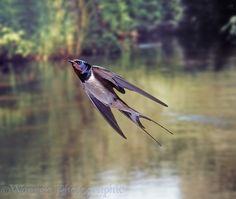 Photograph of Barn Swallow (Hirundo rustica) bringing food to the nest. Rights managed image. Pretty Birds, Beautiful Birds, Rare Animals, Animals And Pets, Golondrinas Tattoo, Swallow Bird Tattoos, Parus Major, Barn Swallow, Bird Wings