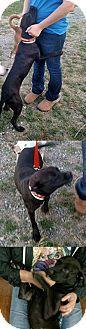 Chantilly, VA - Labrador Retriever Mix. Meet Mandy, a dog for adoption. http://www.adoptapet.com/pet/17248166-chantilly-virginia-labrador-retriever-mix