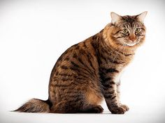 Cat Breed Photo Gallery: Animal Planet American Bobtail