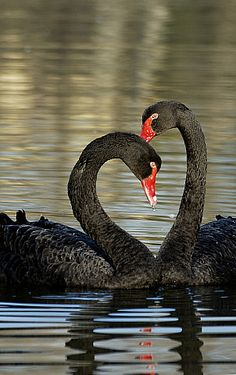 black swans by Cristian Torracchi