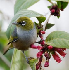 Bird calls drowned out by city noise - Silvereye: native to Australia, New Zealand. Pretty Birds, Love Birds, Beautiful Birds, Beautiful Pictures, Animals And Pets, Cute Animals, Bird Calls, Australian Birds, White Eyes