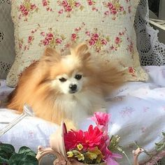 Sleepy day in the garden for Rocket #doglovers #pomeranian #pomeranians #pomeraniansofinstagram #dogsofinstagram #dog #dogoftheday #puppiesofinstagram #doglovers #puppysofinstagram #pom #pompom #cutedog #cutedogs #showpetslove  by rocketandhailey  http://bit.ly/teacupdogshq