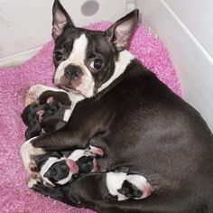 Precious mom and babies! Bostons must have a vet attended birth - C- section and small litters.