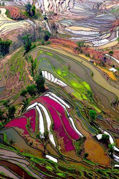 Rice Fields - China