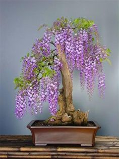 How I wish I could recreate this Wisteria Bonsai. For now, I am enjoying my Wisteria Bonsai made of rose quartz that my friend gave me as a gift when she visited Japan. Wisteria Sinensis, Wisteria Bonsai, Wisteria Japan, Wisteria Tunnel, Wisteria Trellis, Patio Trellis, Ikebana, Plantas Bonsai, Deciduous Trees