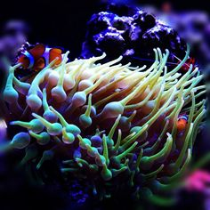 ClownNem - Invertebrates - Gallery - Nano-Reef.com Forums