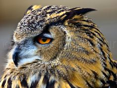 """Contemporary Photography - """"Euro-Asiatic Eagle Owl"""" (Original Art from Thomas Parry Photography)"""