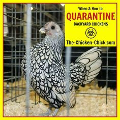 When and How to properly quarantine new chickens