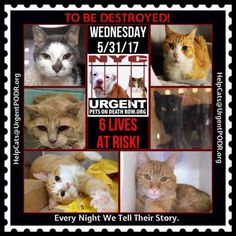 """TO BE DESTROYED 5/31/17 - - Info  Please share View tonight's list here: http://nyccats.urgentpodr.org/tbd-cats-page/. The shelter closes at 8pm. Go to the ACC website( http:/www.nycacc.org/PublicAtRisk.htm) ASAP to adopt a PUBLIC LIST cat (noted with a """"P"""" on their profile) and/or … CLICK HERE FOR ADDITIONAL…Please…Please...-  Click for info & Current Status: http://nyccats.urgentpodr.org/to-be-destroyed-32017/"""