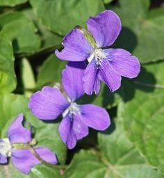 Violets by joann.kunkle