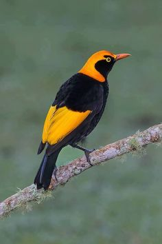 Male Regent Bowerbird in Australia   by Graeme Guy