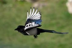 Give me a Magpie called Rossini NOW