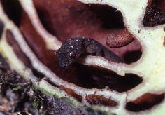 Lepidodactylus manni, Mann's forest gecko peering out of sliced antplant, Monasavu, Fiji.